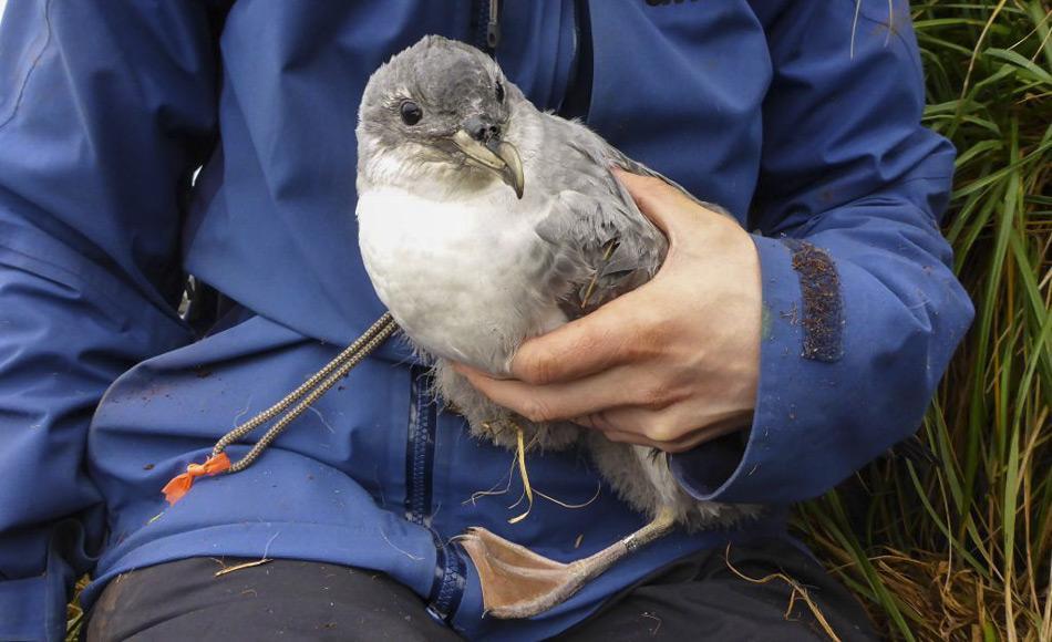 Ein Küken des Grausturmvogels wird zur Identifizierung beringt. Der Grausturmvogel (Procellaria cinerea), tritt über dem offenen Meer der Süd-Hemisphäre vorwiegen zwischen 49°S und 32°S auf. Die größten Kolonien mit schätzungsweise 53.000 Paaren sind auf den  Antipoden Inseln und Gough Island mit 10.000 Paaren. (Foto: Marcus Salton)