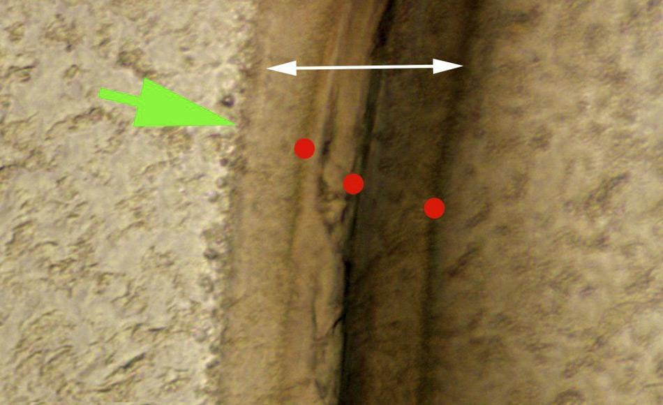 Querschnitt eines Augenstiels von Krill bekannten Alters. Rote Punkte markieren die Wachstumsringe durch die das Alter bestimmt werden kann, grüne und weiße Pfeile markieren die äußerste Schicht des Exoskeletts und die innere, elastische Schicht.