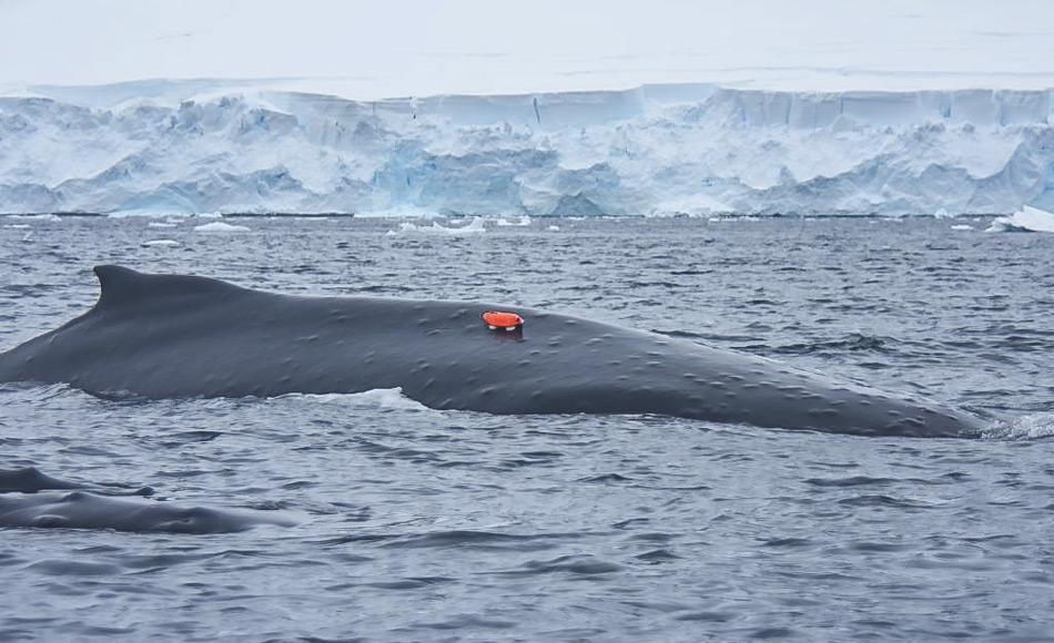 Eine orangefarbene Markierung mit Kamera wurde mittels eines Saugnapfes an der Haut eines Buckelwals angebracht. Nach ungefähr 24 Stunden fällt sie ab und wird von den Wissenschaftlern eingesammelt. (Foto: Elanor Bell)