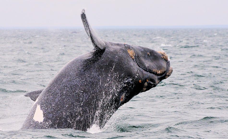 """Glattwale heissen auf Englisch """"Right whales"""", weil sie die richtigen Wale für die Jagd waren: langsam, schwer und so fettriech, dass sie bei ihrem Tod nicht auf den Grund sanken. Ihre Zukunft sieht wieder rosiger aus, da ihre Zahlen von einst 300 auf beinahe 2'700 Tiere wieder angestiegen sind. Bild: Michael Wenger"""