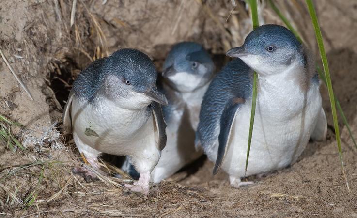 Zwergpinguine sind die kleinste Pinguinart weltweit. Ihr Lebensraum liegt in den Küstenregionen