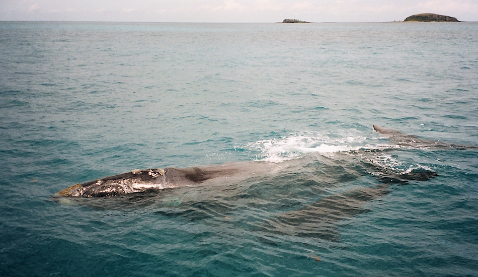 Glattwale gebären ihre Kälber in den warmen Gewässern der argentinischen Küste. Die Jungen werden dann während zwei Jahren gesäugt- Wie die anderen Glattwalarten pflanzen sich die Tiere nur langsam fort aufgrund ihres langen Lebens. Rosely Miranda