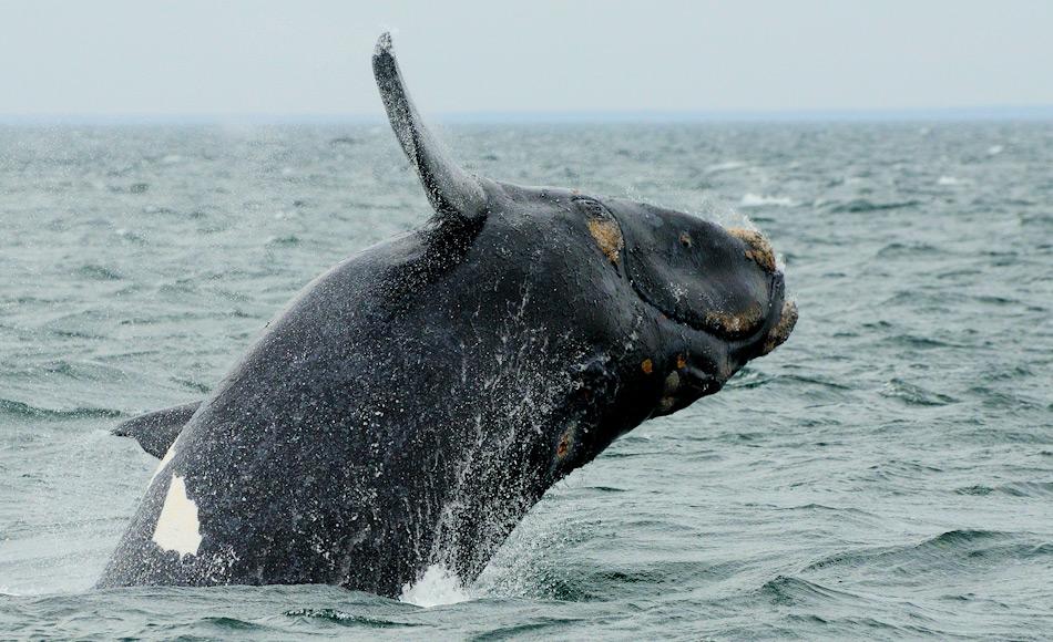 Südliche Glattwale sind zwischen 15 -18 m lang und wiegen 45 – 80 Tonnen. Ihre Wanderrouten sind lang, denn die Tiere pendeln zwischen den antarktischen und den argentinischen Küstengewässern. Bild: Michael Wenger
