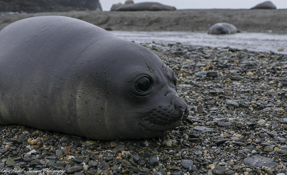 Seeelefanten bringen ihre Jungen an Stränden Südgeorgiens zur Welt. Junge See-Elefantenbabys liegen im Dezember dicht an dicht am Strand.