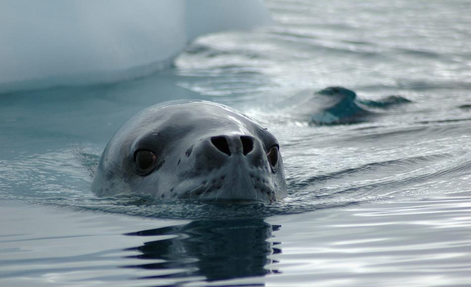 Seeleoparden sind die heimlichen Könige der Antarktis. Sie haben ein breites Nahrungsspektrum, sind im Wasser schnelle und wendige Jäger und können wohl auch sehr weite Strecken schwimmen gemäss der Resultate der Studie. Bild: Michael Wenger