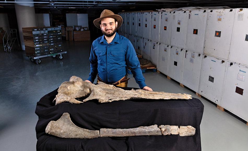 Carlos Peredo vom Smithsonian hat die Untersuchungen an Maiabalaena nesbittae durchgeführt und herausgefunden, dass der Urwal nicht nur keine Zähne, sondern auch keine Barten aufwies. Dafür hatte das Tier andere Methoden, sich zu ernähren. Bild: Smithsonian
