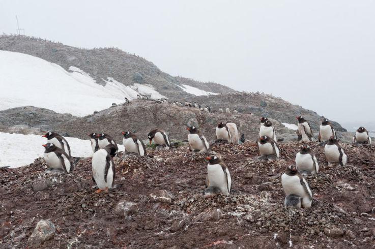 Eselspinguine, Trinity Island, Antarktische Halbinsel, ©Vreni