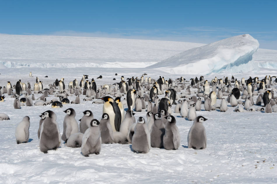 Wenn die Erderwärmung mit derzeitigem Tempo voranschreitet, könnten Kaiserpinguine bis zum Ende des Jahrhunderts fast ausgestorben sein. (Bild: Vreni Gerber)