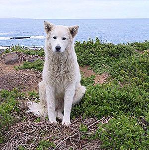 Hirtenhund
