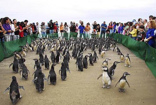 Pinguine-Brasilien2