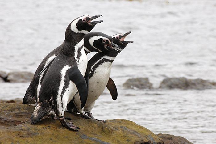 Magellanpinguine-Falkland