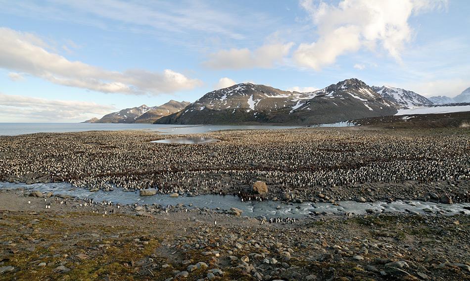 Über 400'000 Königspinguine brüten im weiten Kessel von St. Andrew's Bay. Starke Winde und Niederschläge sind hier keine Seltenheit. Trotzdem gelang es dem Team, die Köder auszustreuen.