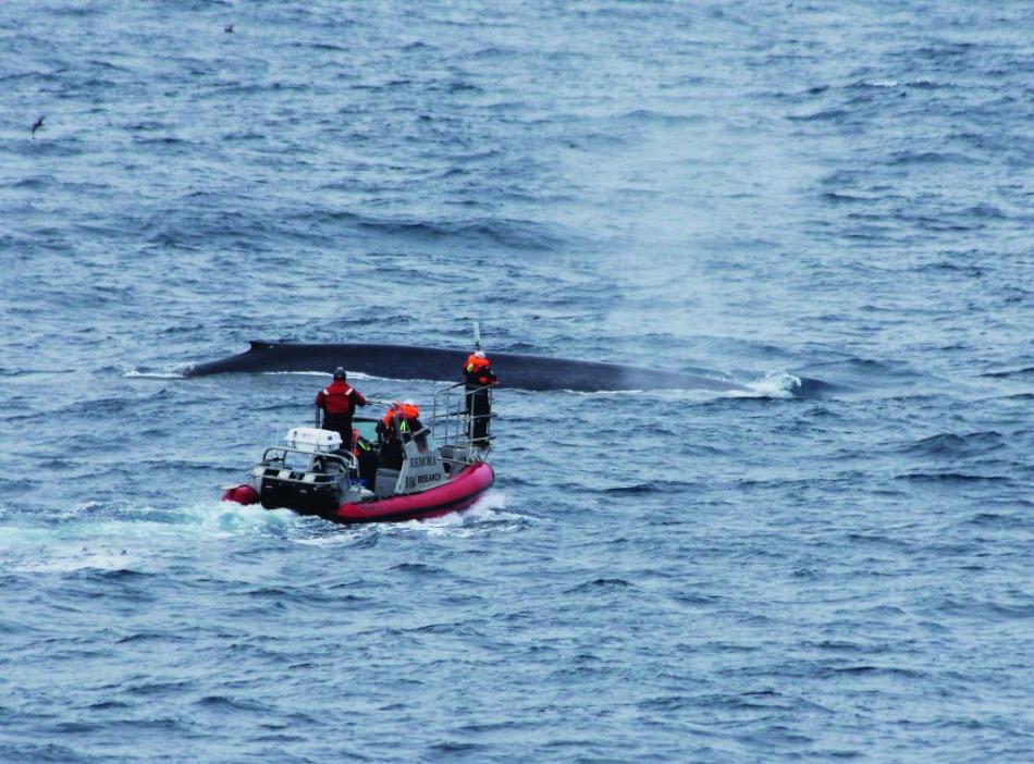 Die Erforschung von Blauwalen ist eine harte und ermüdende Arbeit. Trotz der Tatsache, mit dem grössten Tier der Erde zu arbeiten, ist es enorm schwierig, diese rätselhaften Giganten im riesigen Südpolarmeer zu finden. Bild: Carlos Olavarria