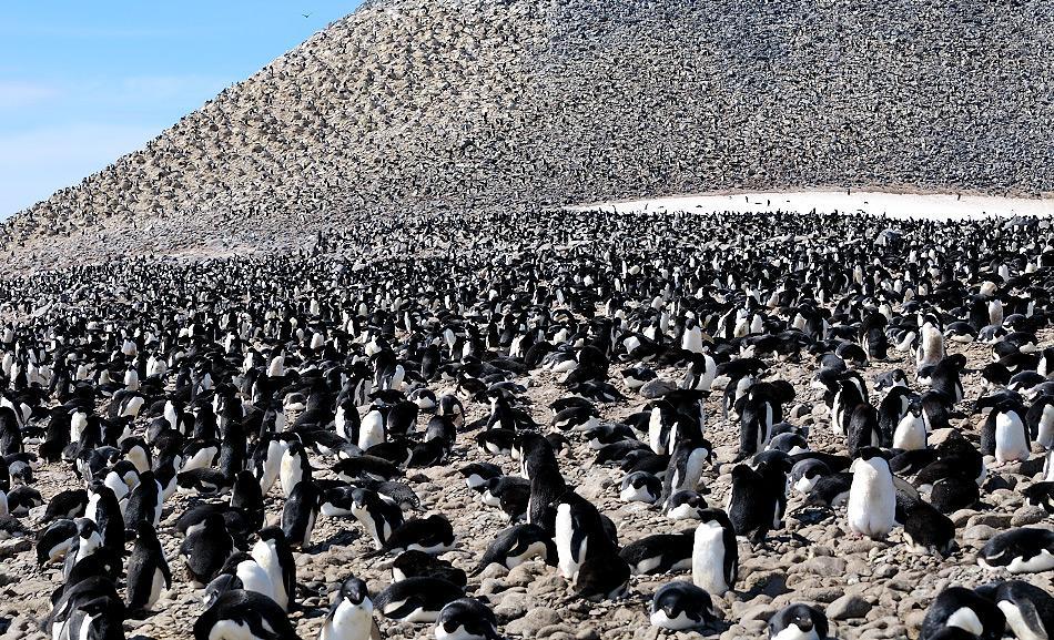 Viele Kolonien entlang der westlichen antarktischen Halbinsel haben einen Rückgang der Populationen durch die Erwärmung des Wassers erfahren. Dadurch schmolz das Eis und der Krill, der Schlüssel zum Überleben der Adéliepinguine, ging zurück. Bild: Michael Wenger