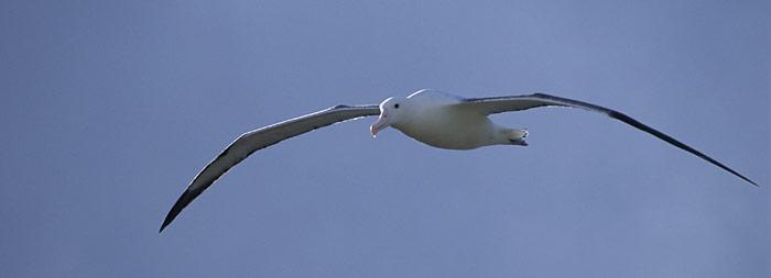 Albatros_im_Flug