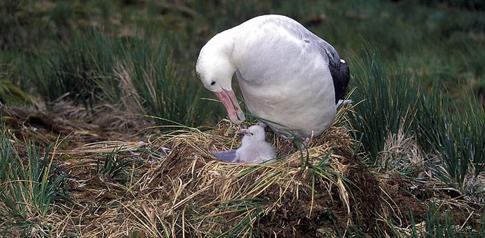 Albatros_mit_Nachwuchs