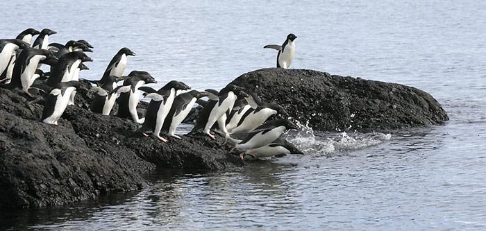 Die Adeliepinguine auf der antarktischen Halbinsel bekunden ebenfalls Mühe die Bestände halten zu können.