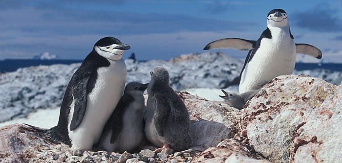 Die Zügelpinguin-Elterntiere bringen wegen der Nahrungsknappheit nur noch vereinzelt zwei Jungtiere gross.