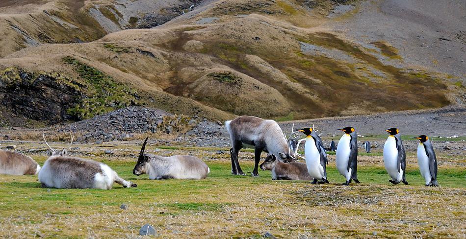 Die Rentiere zertreten Pflanzen und Gelege der Vögel und bedrohen die einheimische Tierwelt.