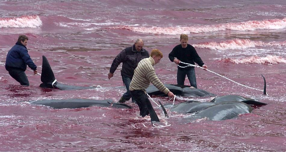 Auf den Färöern Inseln ist das Abschlachten der Grindwale ein «Volksfest». Das Wasser der entsprechenden Bucht färbt sich rot. Diese Bilder wirken auf Aussenstehende oft schockierend.