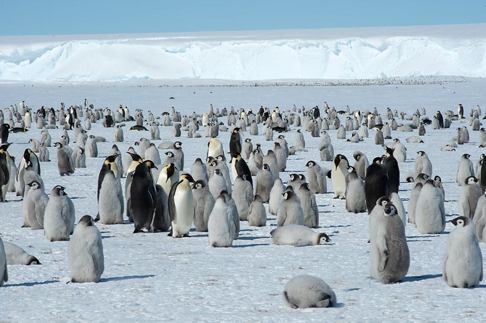 Die Kolonie an der «Princess Ragnhild Coast» zählt zirka 15'000 Tiere und ist in vier grosse Gruppen aufgeteilt.