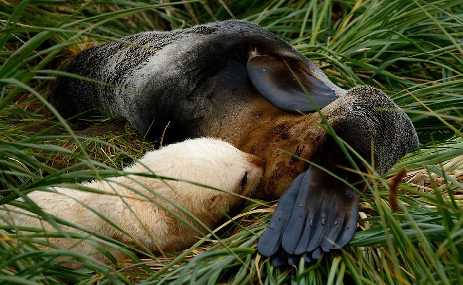 Säugendes Pelzrobbenjunges auf Prion Island