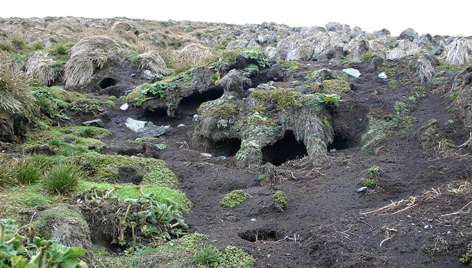 Die Schäden durch die wilden Kaninchen sind immens. Durch die Instabilität des Erdreiches kam es zu Erdrutschen, welcher mindestens in einem Fall eine Pinguinkolonie unter sich begrub.