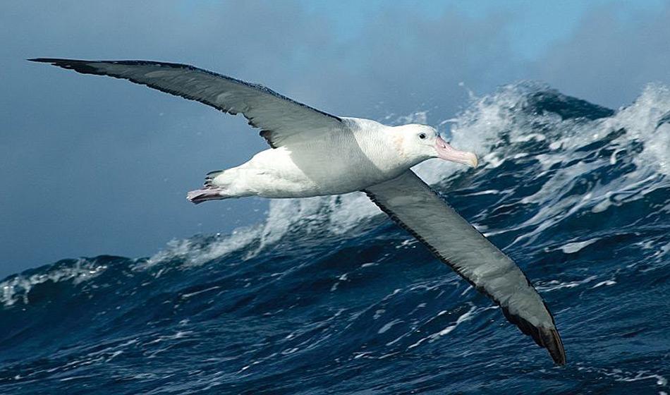 Wanderalbatrosse sind die grössten Seevögel der Welt mit einer Spannweite von fast 3.5 Meter. Auf ihrer Nahrungssuche legen sie bis zu 1'000 Kilometer zurück. Foto: Michael Wenger