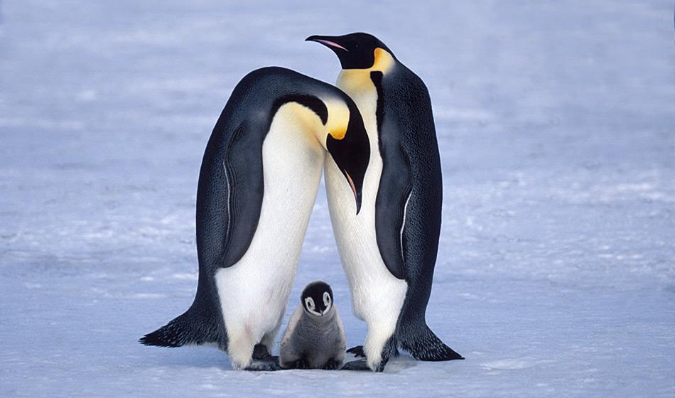 Kaiserpinguine sind die grösste Pinguinart und gelten als Ikone der Antarktis. Sie brüten auf dem Festeis nahe am Kontinent und legen jeden Herbst ein Ei, welches überleben sollte. Foto: Heiner Kubny