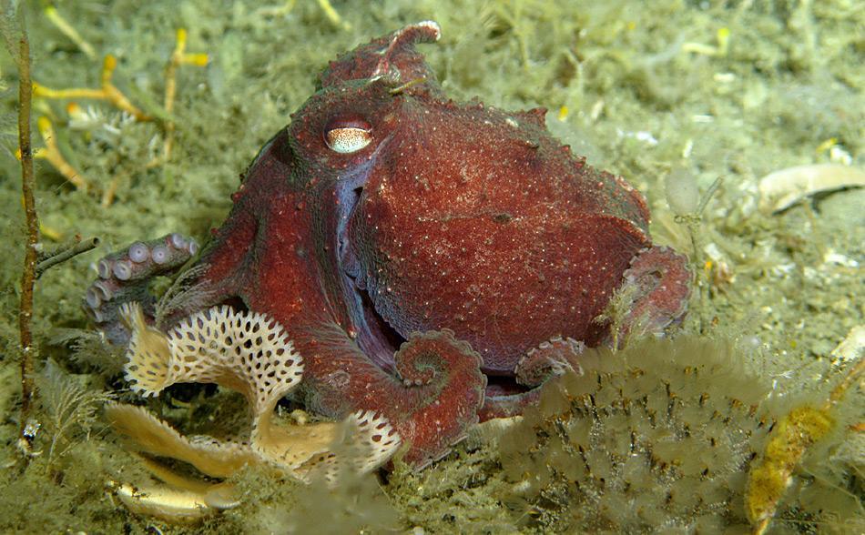 Das blaue Blutpigment der Kraken sorgt für eine bessere Sauerstoffversorgung der Gewebe bei Temperaturen unter 0 Grad Celsius.