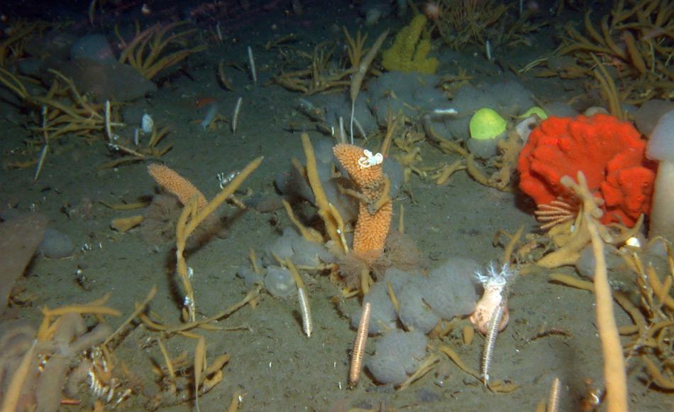 Auch da wo es trotzdem bei Seymour/Paulet ein recht reiches Leben gibt, sind es überwiegend kurzlebige, schnellwüchsige Formen, wie die Seescheidenkolonien (weiße Bälle mit netzartiger Struktur), die lampenputzerartigen Hornkorallen, die gelben büschelförmigen Schwämme. Das rote ist auch ein Schwamm. Die quittegelbe Kugel ist eine Schnecke. Bild: Alfred-Wegener-Institut / Julian Gutt)
