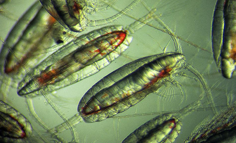 Ruderfusskrebse, Calanus finmarchicus, Bild: SAMS / David Pond
