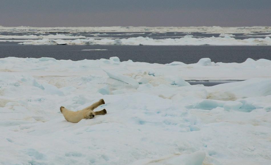 Weniger Meereis bedeutet schlechte Nachrichten für die arktischen Tiere wie Robben, Polardorsch und den ikonischen Eisbären. Bild: Michael Wenger