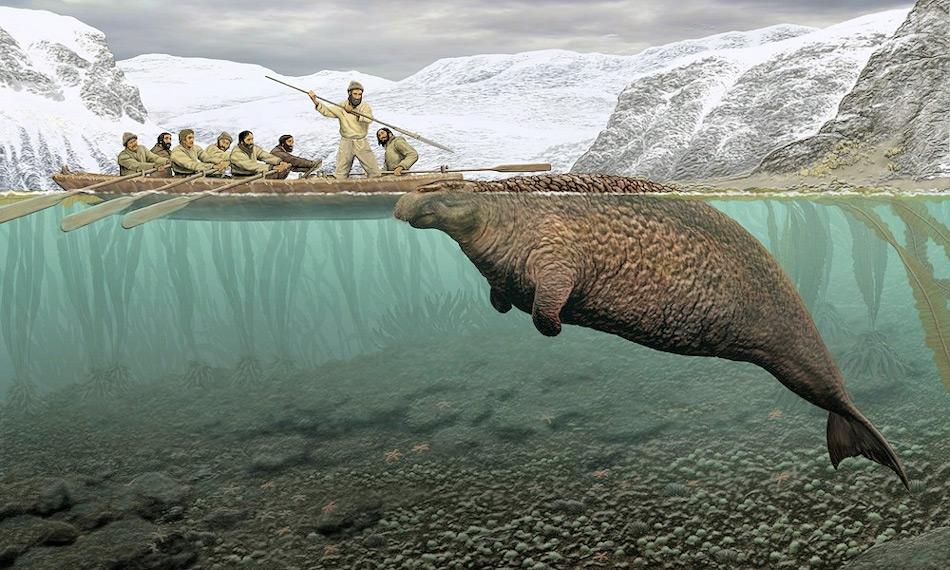 Die Steller'sche Seekuh wurde offiziell im Jahr 1741 zum ersten Mal beschrieben und war damals eines der grössten Säugetiere seiner Zeit. Doch nur 27 Jahre später wurde das letzte Exemplar von Seeleuten als Nahrung erlegt aufgrund seiner Grösse von 8 Metern und 10 Tonnen Gewicht.