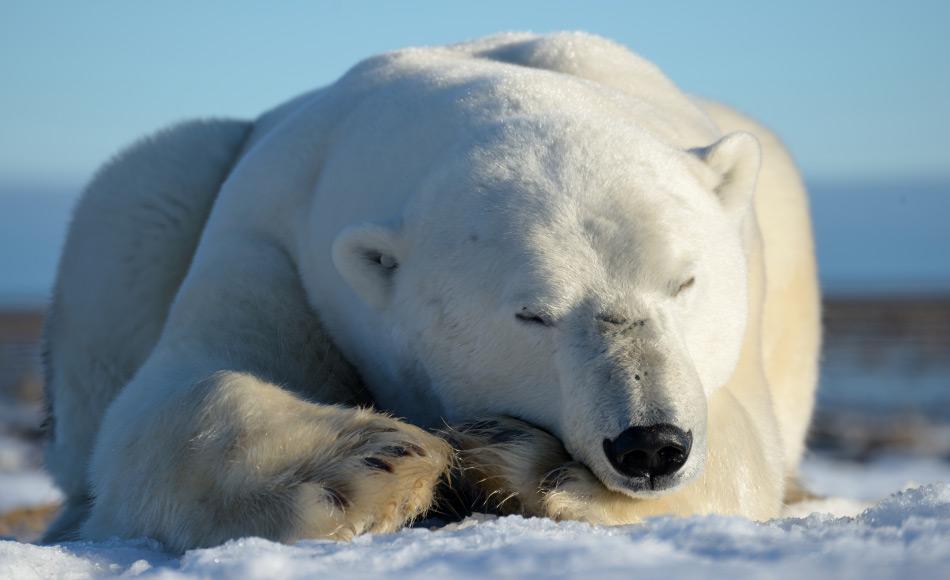 Eisbären in der kanadischen Arktis kommen vom äussersten Norden von Ellesmere Island bis ins Hudson Bay Gebiet vor. Scheinbar lebte ein verwandter Vorfahre im ähnlichen Gebiet, aber mit einem anderen Lebensstil. Bild: Michael Wenger