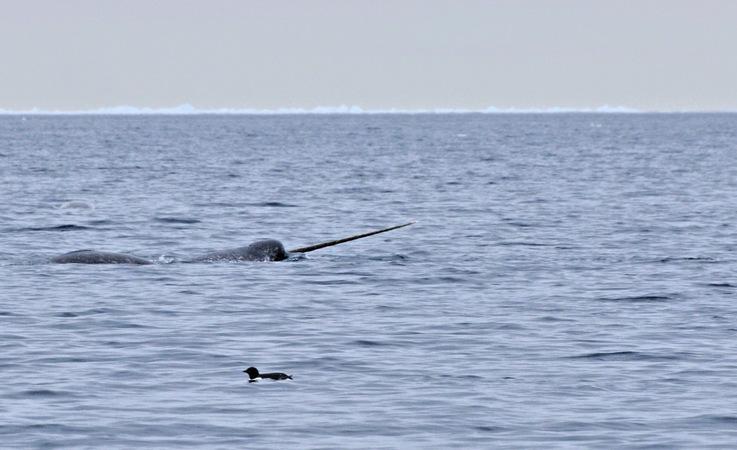Narwale gehören zu den Zahnwalen und sind mit den Belugas verwandt. Wie diese, leben sie in