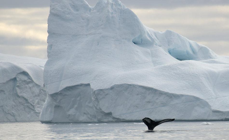 Die Baffin Bay, die zwischen Kanada und Westgrönland liegt, ist ein bekanntes und beliebtes Ziel der Walfänger gewesen. Doch die eisigen und gefährlichen Bedingungen hatten hohe Opfer gefordert, nicht nur an den Walen. Bild: Michael Wenger