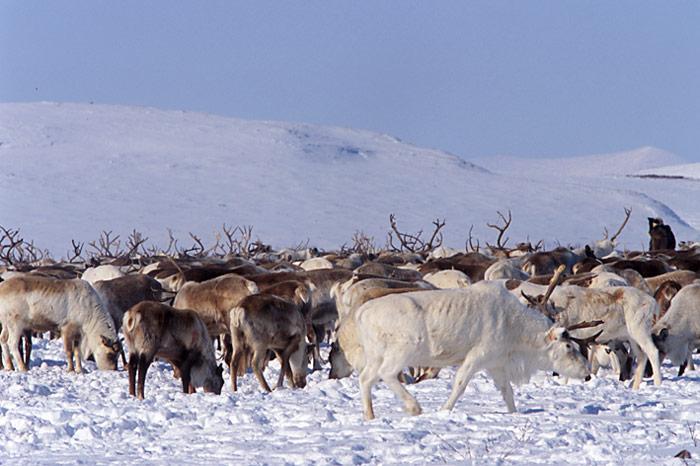 Chukotka-Rentierherde