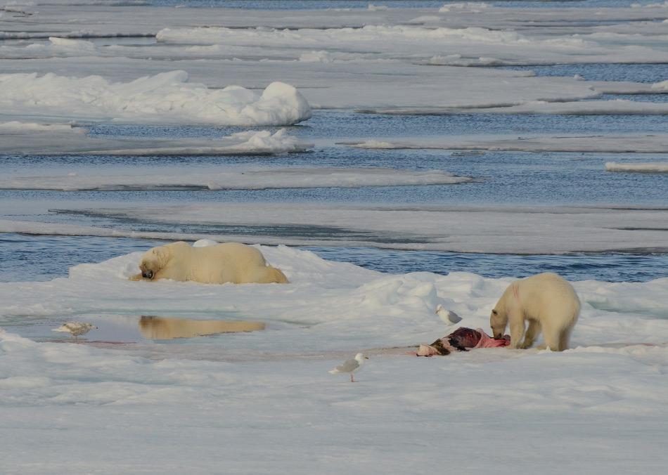 Während der Sommermonate liegen die Robben an der Kante des Packeises. Dorthin müssen Eisbären wandern, wenn sie etwas zu fressen finden wollen. Doch nur jede zehnte bis zwölfte Chance ist auch erfolgreich. Bild: Michael Wenger
