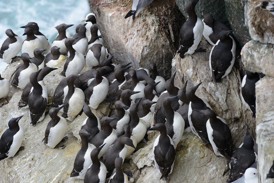 Die Trottellumme ist ein Pinguin-ähnlicher, aber fliegender Seevogel. Er ist nicht ganz so angepasst an die kalte Umgebung wie sein Verwandter, die Dickschnabellumme, die noch auf Spitzbergen brütet. Doch in der Beringstrasse überschneiden sich die Lebensräume der beiden Arten aufgrund der grossen Nahrungsmengen im Meer. Bild: Michael Wenger