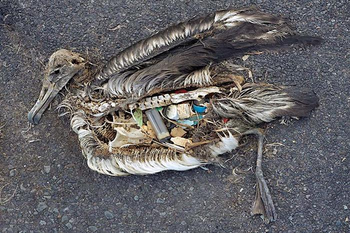 vergifteter-Albatros