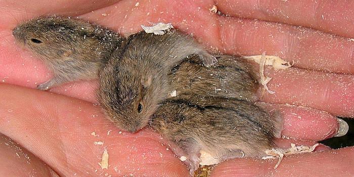 Lemminge wiegen bei der Geburt nur etwa 1 Gramm