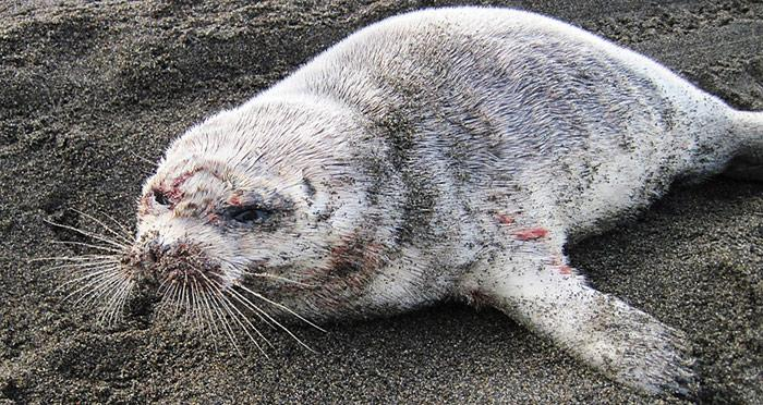 Robben waren als erste von der mysteriösen Krankheit betroffen.