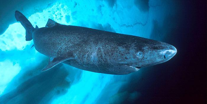 Der Grönlandhai wird 4 bis 5 Meter lang, seine Lebenserwartung beträgt ca. 200 Jahr.