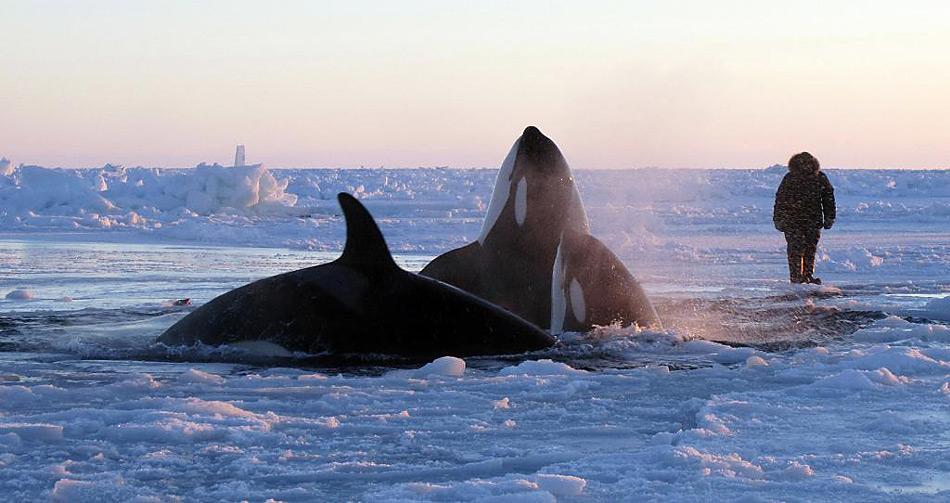 Verzweifelter Kampf um Atemluft, zwölf Orcas müssen sich ein Loch in der Eisdecke zum Atmen teilen.