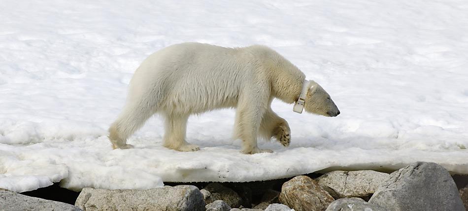 Nur weibliche Eisbären können markiert werden, da der Hals von männlichen Bären breiter ist als ihr Kopf und der Sender verloren ginge.