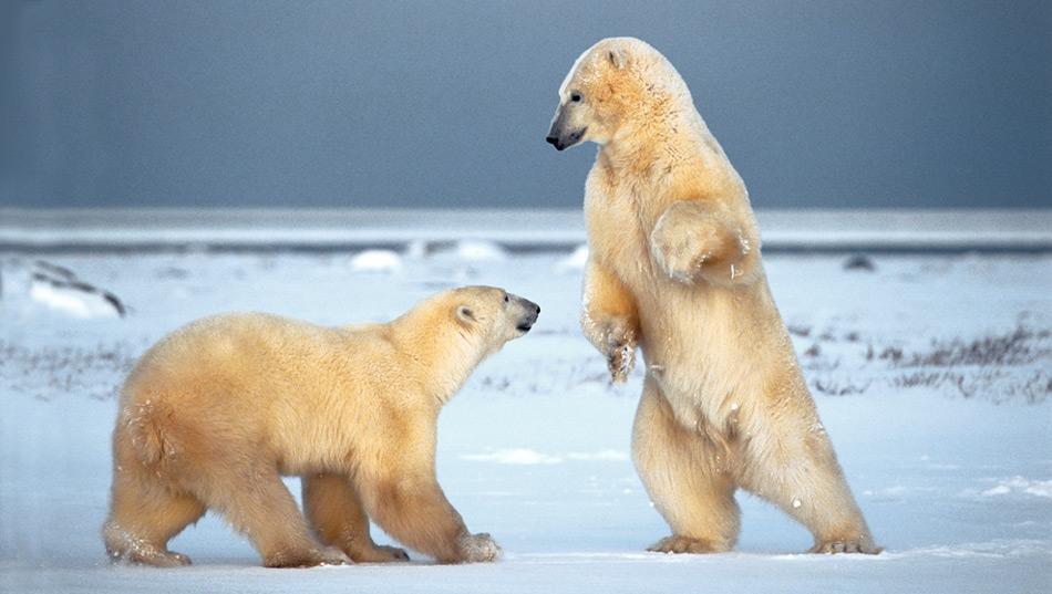 Eisbären mit ausreichender Fettreserve werden älter. Letztlich gilt, je fetter, desto grösser die Überlebenschance. Foto: Norbert Rosing