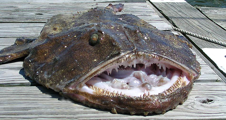 Mit ihrem riesigen, mit kräftigen Zähnen besetzten Maul können Seeteufel problemlos auch grössere Beute erlegen.