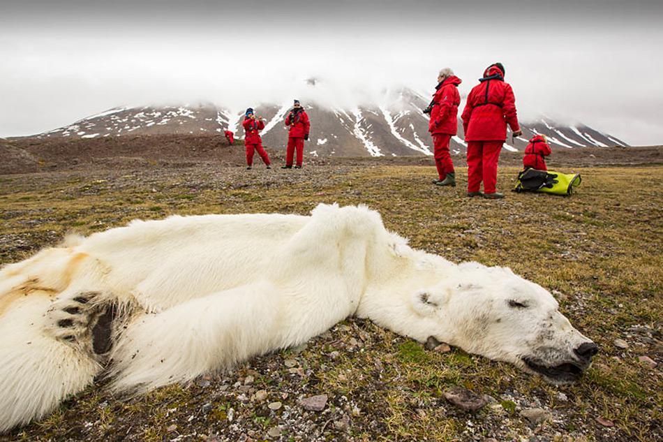 Ein Auf Spitzbergen verhungerter 16-jähriger Eisbär ist nun zum Symbol für diese Problematik geworden. Foto: Ashley Cooper, Global Warming Images