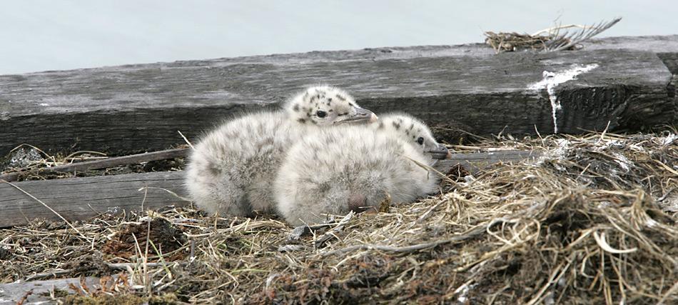 Vögel im Jugendkleid sind überwiegend hell graubraun. Das Gelege besteht aus 1-2 Eiern. Die Jungvögel verlassen nach 45–50 Tagen das Nest und werden von den Elterntieren nur noch einige Tage mit Futter versorgt.